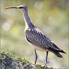 Scaterie.Island.Whimbrel