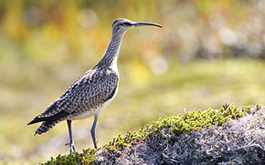 whimbrel (bird) - Scaterie Island Nova Scotia